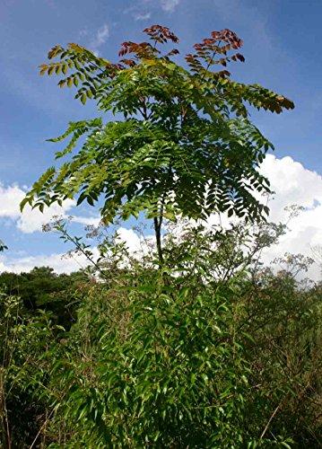 10 Seeds Acrocarpus fraxinifolius Shingle Tree, Indian Ash Ash Tree