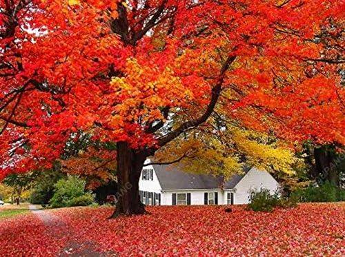 50 PC americanos arce rojo Semillas Semillas Semillas del árbol de arce ornamental Bonsai para jardín Plantar fácil cultivar semillas de árboles raros Negro: Amazon.es: Jardín