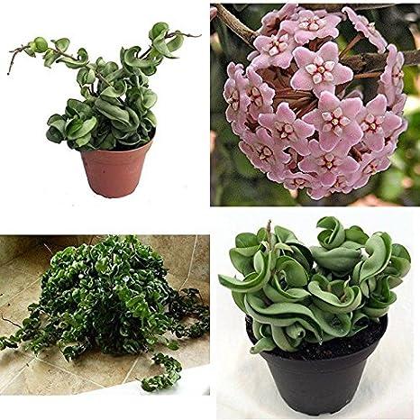 Amazon com : Hindu Indian Rope Plant Hoya Exotic Easy 4