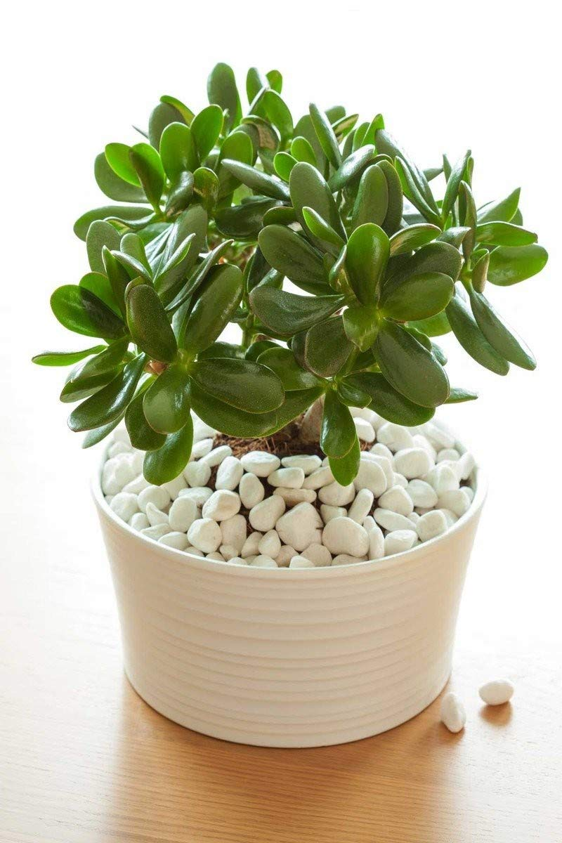 Jade Plant, Succulent, 8'' Pot (Excludes CA, AZ) by Root 98 Warehouse (Image #2)