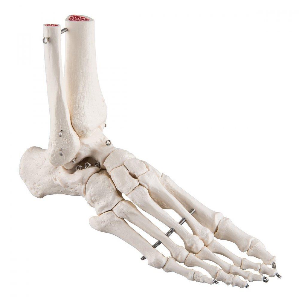 Life Größe Echthaar Fuß Gelenk Modell, anatomisches Modell Skelett ...