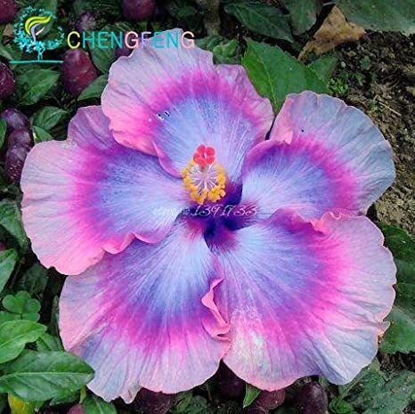 Amazoncom On Sale 200pcs Hibiscus Seeds 24kinds Hibiscus Rosa