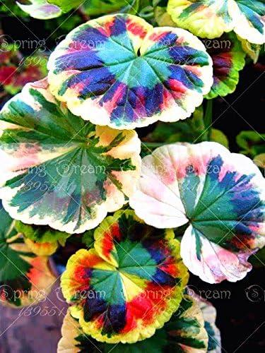 Abigarrado Geranio de semillas en macetas de flores jardín de invierno 100 piezas / semillas de geranio bolsa raro para la planta de los bonsai para el jardín de 12: Amazon.es: Hogar