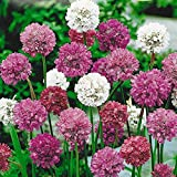 Armeria pseudoarmeria mix Flower Seeds from Ukraine