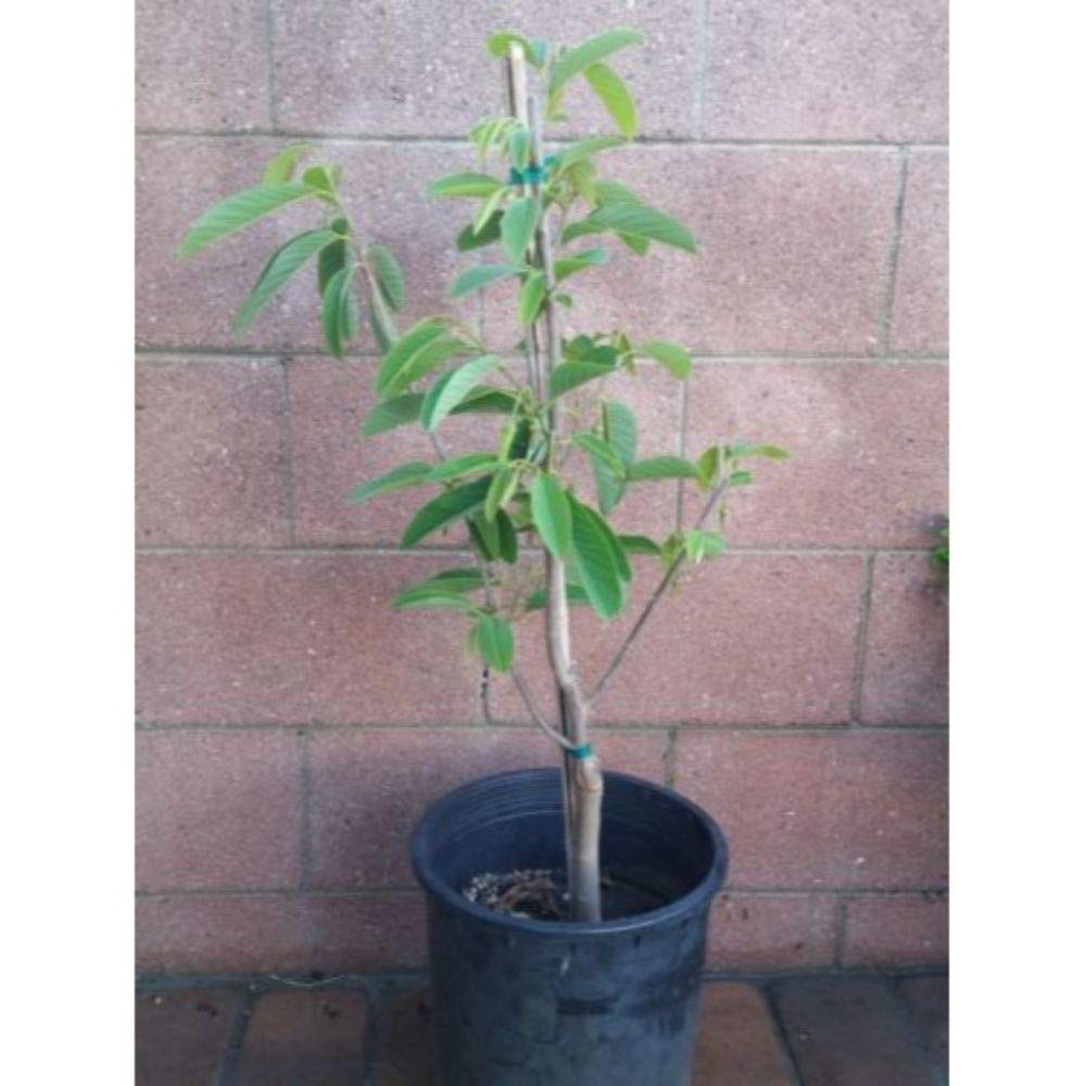 Atemoya Tropical Fruit Trees 3-4 feet Height in 5 Gallon Pot #BS1 by iniloplant (Image #3)