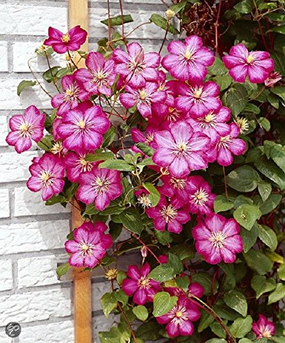 Carnaby Clematis Root (3''Pot)Makes a dynamic container planting,Deer resistant