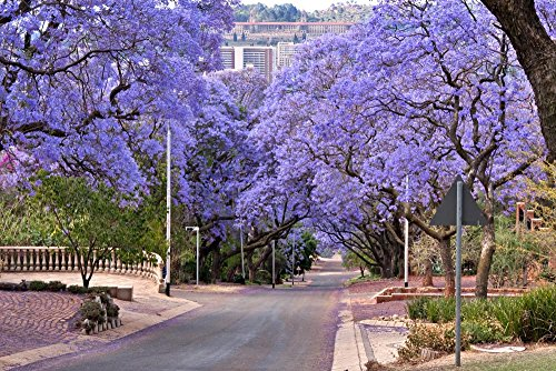 Wallmonkeys Jacaranda Trees Peel and Stick Wall Decals WM134897 (24 in W x 16 in H)