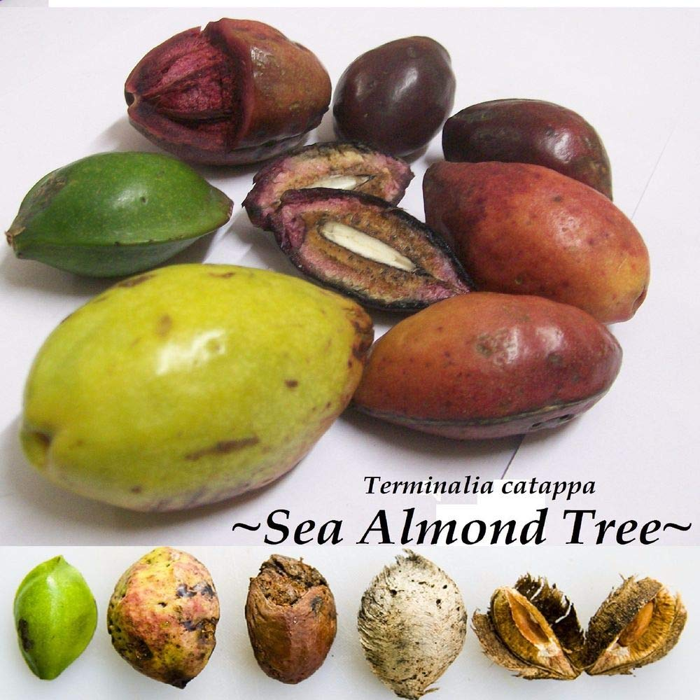 TERMINALIA CATAPPA SEED INDIAN ALMOND TREE Stunning 100 seeds