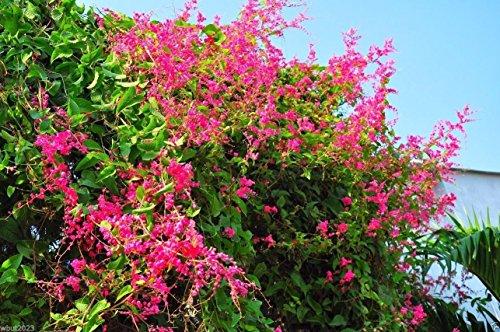 20 Coral vine seed, AKA Chinese Love Vine,Mexican Creeper, Desert Bleeding - Plant Bleeding Vine Heart