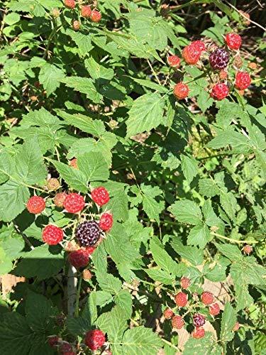 Amazon com : Berry Seeds Wild Non GMO Berry Strain Seeds BlackBerry