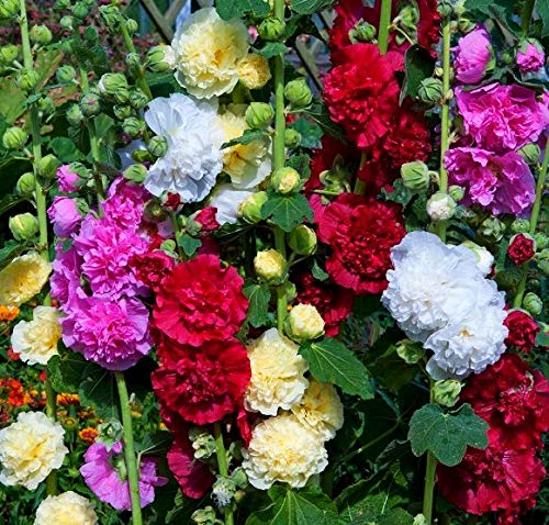 Malva Mallow Hollyhock Flowers Seeds for Planting Mix Rod-Rose Stock-Rose Multicolor High Variety Around 25 Seeds