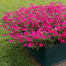 PINK WAVE Petunia Seeds - Spreading & Trailing Variety, Beautiful Colors, Spreads 2 Feet, Fresh Seed (10 seeds)