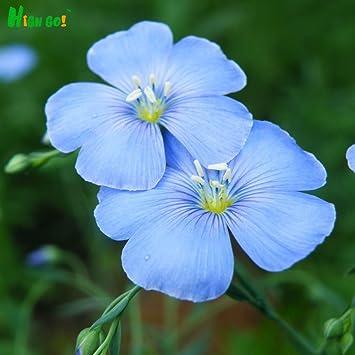 Hängende Blume / Balkon Blume / Blume blau Blumensamen Leinsamen ...