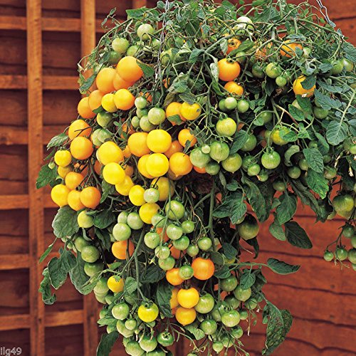 #1265 AMAZON WORLD'S SMALLEST YELLOW CURRANT TOMATO 25 seeds
