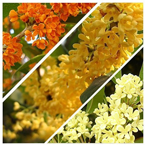 5 Osmanthus fragrans Sweet Olive MIX seeds one of the most fragrant tree ()