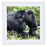 3dRose Danita Delimont - Baby animals - Africa, Rwanda, Volcanoes NP. Mountain gorilla with its young playing - 16x16 inch quilt square (qs_276535_6)