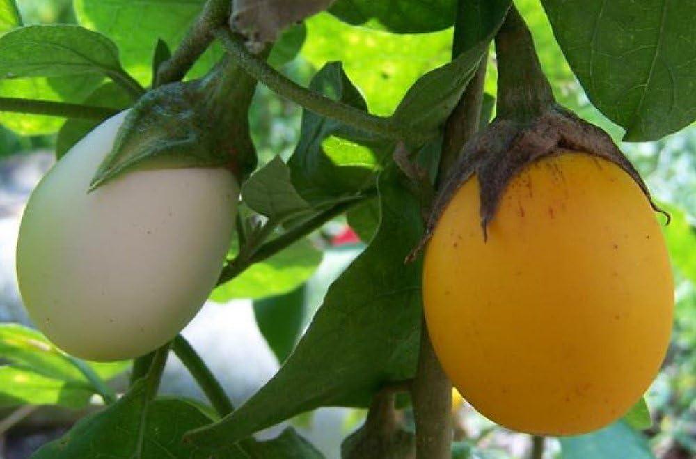 Amazon Com Amazing Egg Tree 15 Seeds Grow Indoors Out Edible