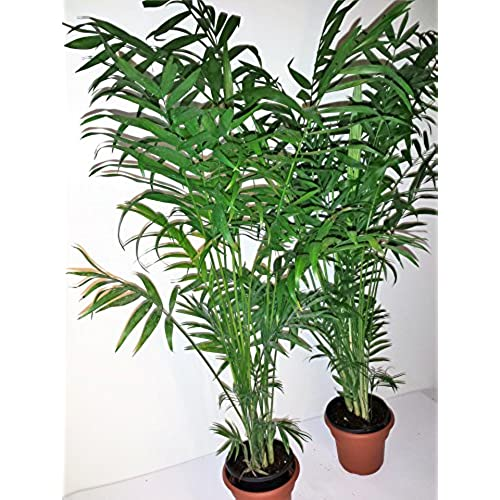 Two Extra Tall Parlor Palms In Four Inch Panterra Pots