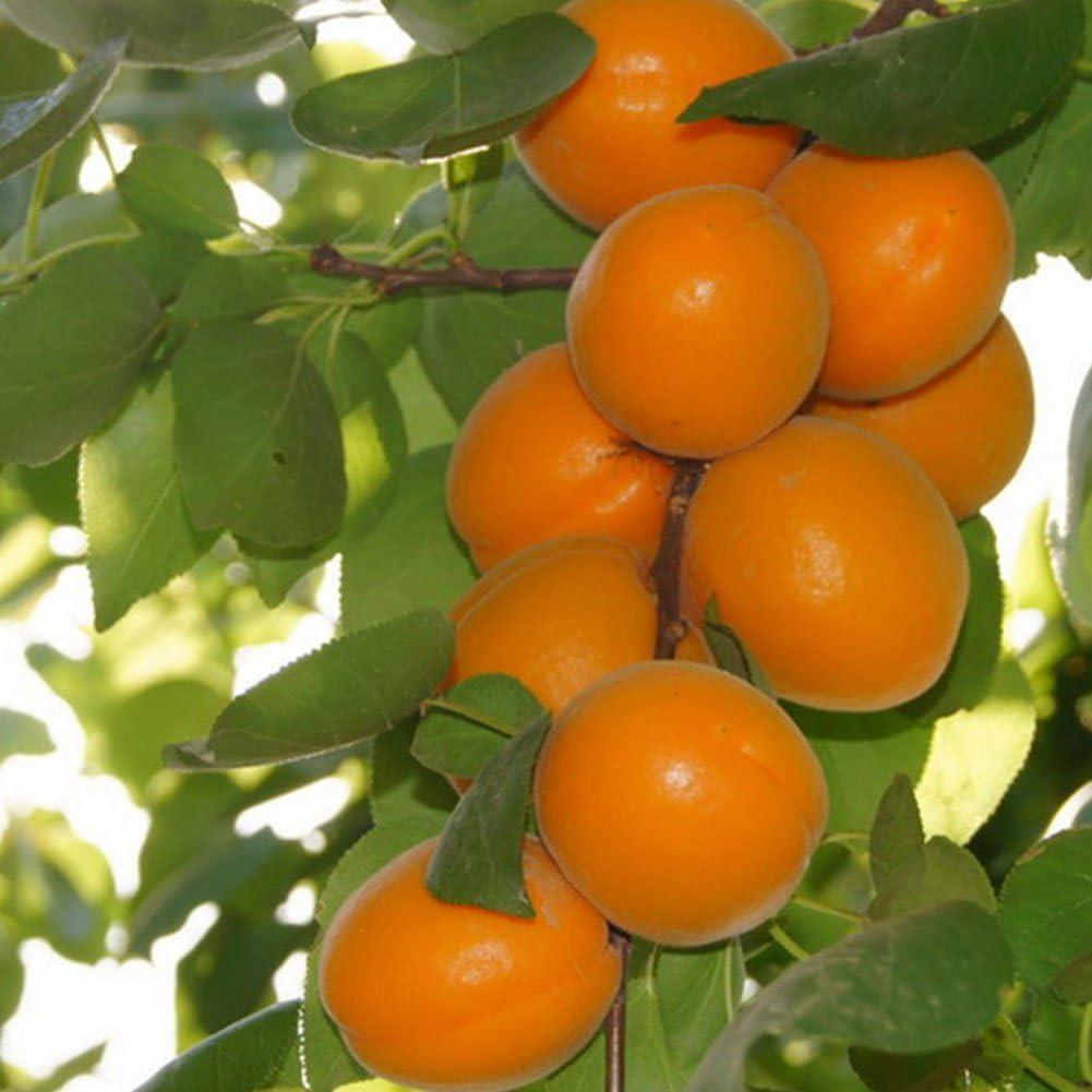 Apricot Tree Seeds,10Pcs Sweet Apricot Seeds Tree Rare Fruit Bonsai Plant Home Garden Decor
