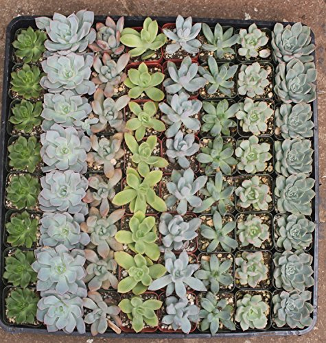 100 of JIIMZ Succulent ROSETTE Succulents great for Wedding Favors, Wall Gardens and Wreaths by Jiimz