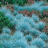 100 Blue Fescue Grass Blue Green Color Seeds