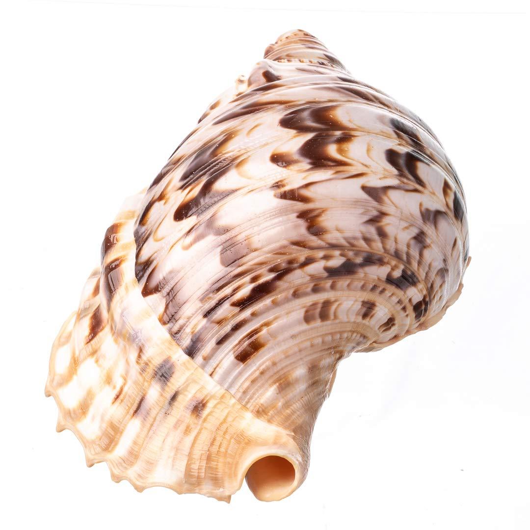 Amazon.com: Joseph Rains Pacific Triton Horn Carmín para el ...