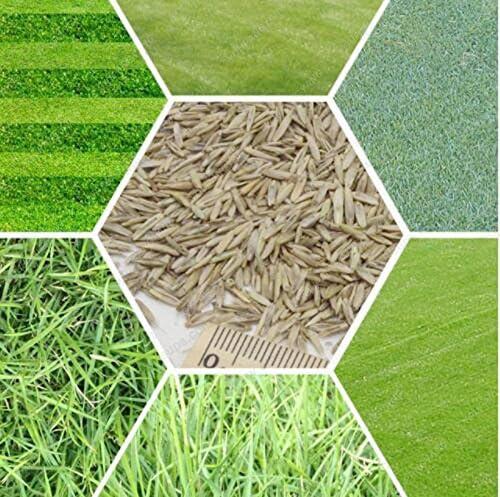 200 semillas / pack Semillas Semillas de hierba Césped Evergreen Lawn semillas verdes Fuente Golf Campo de fútbol de hierba Bonsai envío: Amazon.es: Jardín