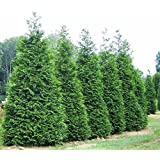 Green Giant Arborvitae Tree (Thuja) - Live Plant - Trade Gallon pot