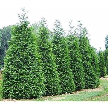 amazon com emerald green arborvitae 3 4ft tree thuja occidentalis