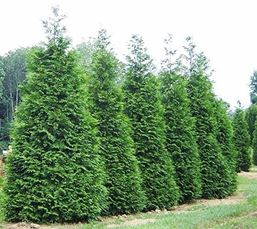 Green Giant Arborvitae Tree (Thuja) - Live Plant - Trade Gallon pot by New Life Nursery & Garden