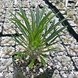 Mini Garden Pachypodium lamerei Madagascar Palm Plant Cactus Cacti Succulent Real Live Plant