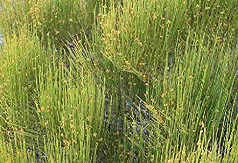 Asklepios-seeds® - 50 Semillas de Ephedra viridis green Mormon tea, green ephedra, and Indian tea