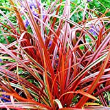 Fire Dance Grass Uncinia Rubra 5 Seeds Ornamental Grass Flower Seeds Fresh Beauty
