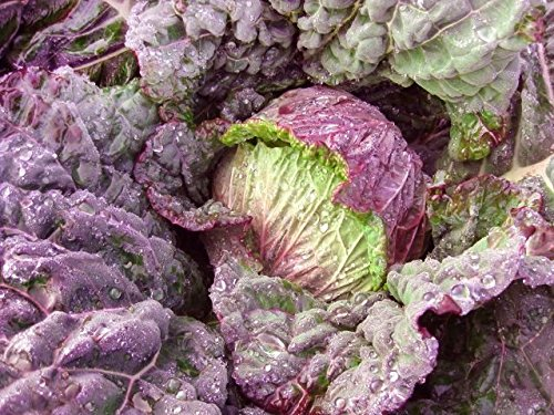 Sweet Cabbage - 50+ ORGANICALLY GROWN Purple Savoy Cabbage Seeds Heirloom NON-GMO, Delicious, Sweet Flavor, Great for Wraps, 75-80 days, From USA