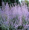 Russian Sage, Perovskia atriplicifolia, Seeds (Fast, Fragrant, Showy, Hardy) 50