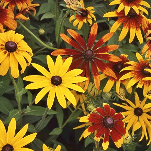 (Daisy Seeds - Gloriosa Mix - Packet, Mixed Colors, Flower Seeds)