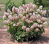 Munchkin Dwarf Oakleaf Hydrangea - Live Plant - Trade Gallon Pot