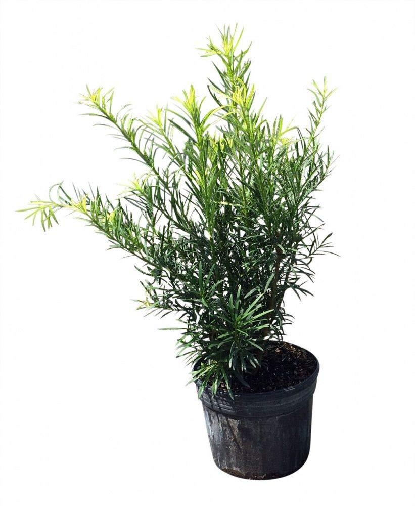 PlantVine Podocarpus macrophyllus, Japanese Yew - Large - 8-10 Inch Pot (3 Gallon), Live Plant - 4 Pack