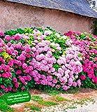BALDUR-Garten Freiland-Hortensien-Hecke 'Pink-rosé', Rosa Bauernhortensie 3 Pflanzen Hydrangea