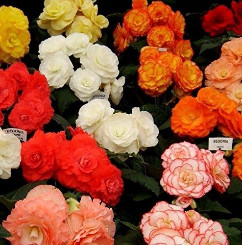 (Mocca Mix Tuberous Begonia Non Stop Non-Stop Tuber Assorted 10 Seeds)