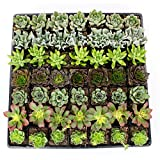 """NW Wholesaler - Bulk Succulents 2.25"""" Flat of 49 Mixed Varieties for Wedding Favors, Party Favors, Mothers Day Gift, Tropical Plants, and Indoor Gardens"""