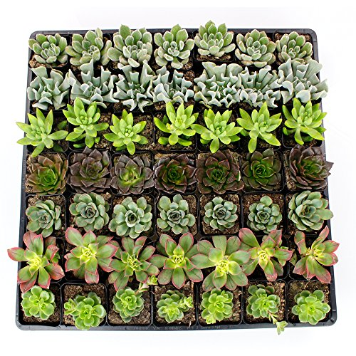 NW Wholesaler - Set of 50 or 100 Live Succulents with Moss and Pots for Wedding Favors, Party Favors or Succulent Gardens (50) by NW Wholesaler (Image #2)