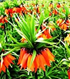 Red Crown Imperial Fritillaria 1 Bulb