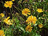 Home Comforts Laminated Poster Nature Coreopsis Bloom Flower Blossom Plant Poster Print 24 x 36