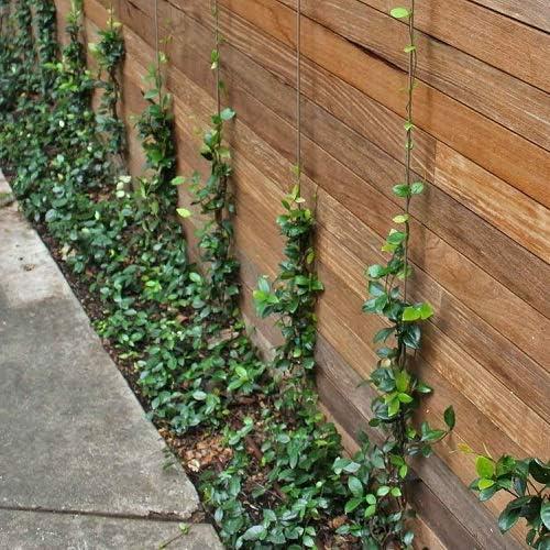 2 x Jazmín estrellado - Jazmín de leche (planta hojas perennes) - 2 x Maceta de 1.5 litro (Planta trepadora - Planta adulta) - Resistente a las ...