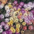 David's Garden Seeds Flower Daisy Livingstone Pastel Mix 5489 (Multi) 500 Non-GMO, Open Pollinated Seeds
