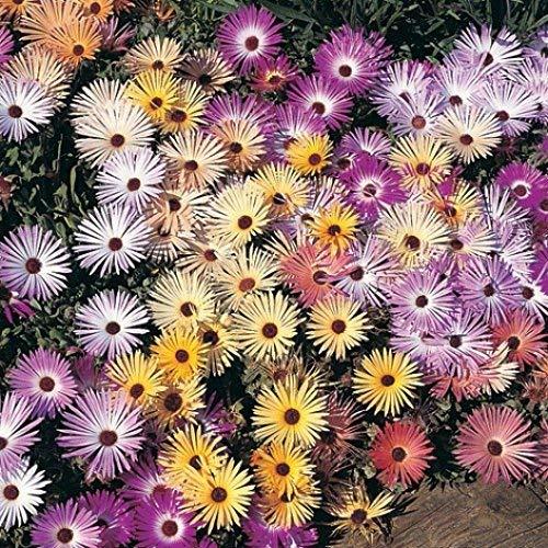 David's Garden Seeds Flower Daisy Livingstone Pastel Mix 5489 (Multi) 500 Non-GMO, Open Pollinated - Garden Livingstone