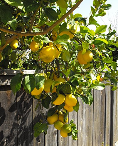 "TreesAgain Potted Lemon Tree - ""Eureka""  - 8 to 12+ inches"