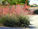 Red Yucca Hesperaloe Parviflora Bush Live Rooted Plant 6-10 Inches Tall Exotic Rare Organic Cold Hardy Drought Resistant Ready for Planting 1 Years Old (3 Plant Pack)