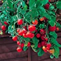 Tomato Garden Seeds - Tumbling Tom Red - Non-GMO, Vegetable Gardening Seed - Super Sweet